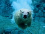 **White** - Eisbär