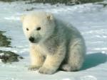 petit ours blanc - Männlich Eisbär (2 Monate)