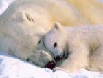 ours polaire calinou - Eisbär