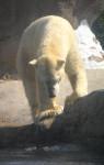 tinours - Männlich Eisbär (2 Jahre)