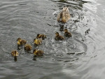 ducks -