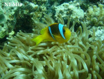 Nemo - Männlich (1 Monat)