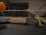 Léo - Männlich Gecko (6 Jahre)