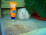 shemus - Männlich Hamster (3 Monate)