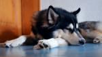 Un Husky Sibérien dort sur le sol