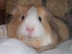 Bella - Meerschwein (1 Jahr)