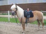 Plume - Pferd (8 Jahre)