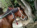 Jaguar - Männlich Pferd (15 Jahre)