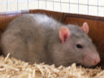 Ratatouille - Männlich Ratte (6 Monate)